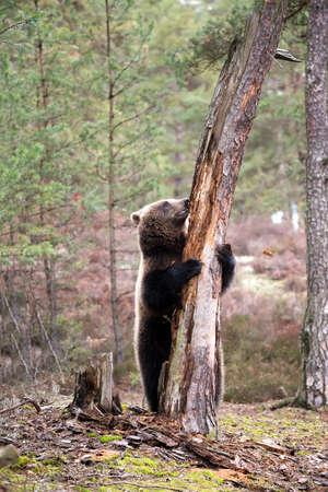grizzly: grande femelle de l'ours brun (Ursus arctos) dans la forêt d'hiver, commencer à grimper sur l'arbre, Europe, République tchèque