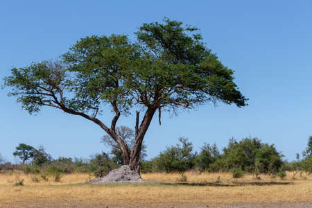 Afrikanische Landschaft mit Akazie vor im Nationalpark Nambwa auf Caprivi Strip Namibia