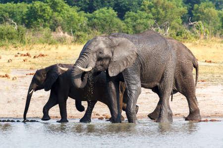 at waterhole: manada de elefantes africanos que beben en un pozo de agua fangosa, Hwankee National Park, Botswana. fauna del safari Foto de archivo
