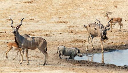 pozo de agua: kudu ant�lope y otros animales potable en una charca fangosa, Hwankee National Park, Botswana. fauna del safari Foto de archivo