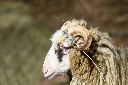 rocky mountain bighorn sheep: ram or rammer, male of sheep in rural farm