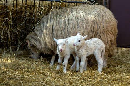 pasen schaap: Schapen met kleine lam op landelijke boerderij. Lam is Paasvakantie symbool