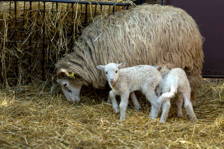 pasen schaap: Sheep with small lamb on rural farm. Lamb is Easter holiday symbol Stockfoto