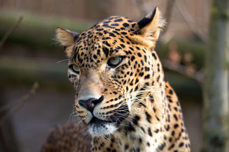 irbis: Persian leopard (Panthera pardus saxicolor), known as the Caucasian leopard Stock Photo