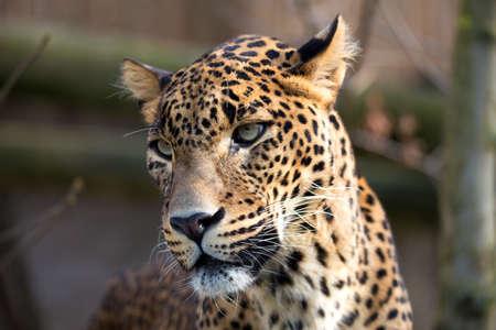 felid: Persian leopard (Panthera pardus saxicolor), known as the Caucasian leopard Stock Photo