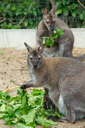 wallaby: grazzing Red necked Wallaby, kangaroo with baby in bag Stock Photo