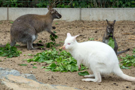 white necked: grazzing family of cute Red necked Wallaby, kangaroo (Macropus rufogriseus), with white albino female