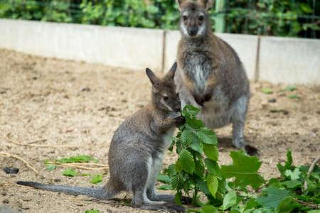 wallaby: Closeup of a Red-necked Wallaby baby , kangaroo (Macropus rufogriseus) Stock Photo