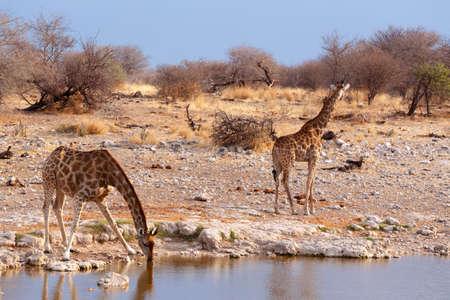 giraffa: drinking Giraffa camelopardalis on waterhole in Etosha national Park, Ombika, Kunene, Namibia, true wildlife