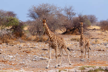 pozo de agua: Giraffa camelopardalis cerca de la charca de Etosha National Park, Ombika, Kunene, Namibia, la verdadera vida silvestre Foto de archivo