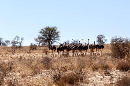 struthio camelus: group of Ostrich, Struthio camelus in Kgalagadi, South Africa, true wildlife photography