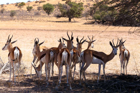 marsupialis: herd of Springbok Antidorcas marsupialis in tree shade, Kgalagadi Transfontier park, South Africa. wildlife photography