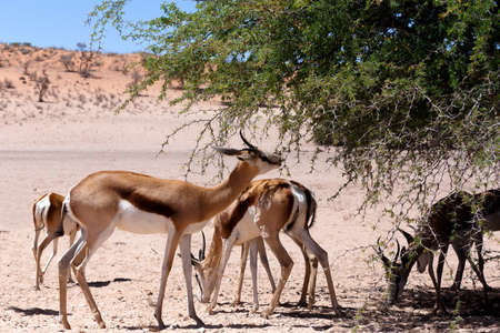 marsupialis: herd of Springbok Antidorcas marsupialis grazzing on tree shade, Kgalagadi Transfontier park, South Africa. wildlife photography