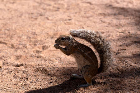 cape ground squirrel: South African ground squirrel Xerus inauris,with a raised tail eats food,Kalahari, South Africa