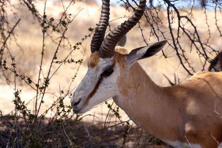 africa  wildlife: Close up Portrait of Springbok Antidorcas marsupialis, Kgalagadi Transfontier park, South Africa. wildlife photography