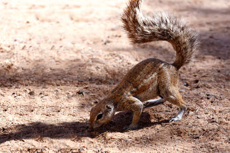 xerus inauris: South African ground squirrel Xerus inauris,with a raised tail eats food,Kalahari, South Africa