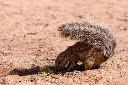 xerus inauris: South African ground squirrel Xerus inauris,with a raised tail eats food,Kalahari, South Africa