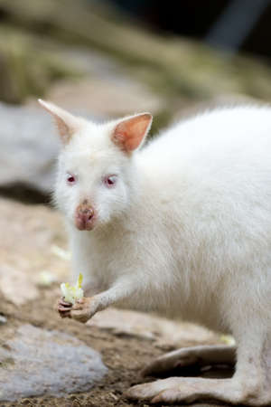 bennett: Closeup of a Red-necked Wallaby white albino female, kangaroo (Macropus rufogriseus) Stock Photo