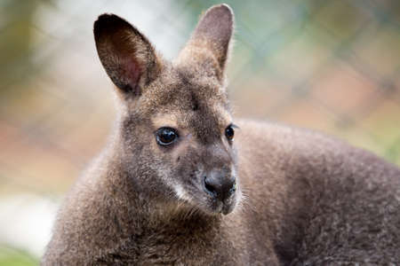 white necked: Closeup of a Red-necked Wallaby kangaroo (Macropus rufogriseus)