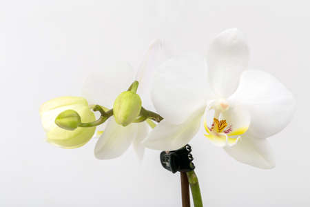 day spa decor romantic branch of white orchid on grey background studio shoot: day orchid decor