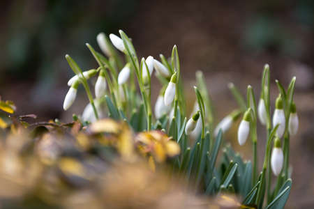 galanthus: Galanthus Snowdrop bloom in garden with shallow focus, the firts spring messenger