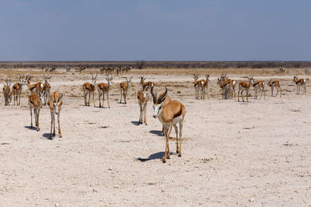 springbok: Springbok Antidorcas marsupialis, Etosha national Park, Ombika, Kunene, Namibia. True wildlife photography