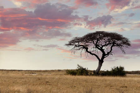 acacia: Typical large Acacia tree in the open savanna plains of East Africa, Botswana Hwankee Stock Photo
