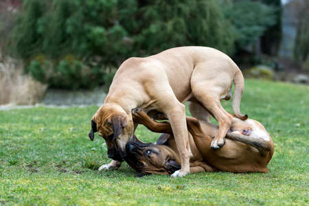 horseplay: two young female of Fila Brasileiro (Brazilian Mastiff) playing outdoor on green grass