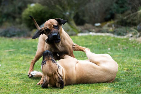 horseplay: two young female of Fila Brasileiro (Brazilian Mastiff) playing outdoor on green grass