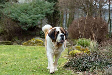 st bernard: Portrait of a nice St. Bernard dog, female in the spring garden Stock Photo