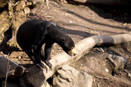 grieved: Malaysian bear known as Sun bear (Helarctos malayanus)