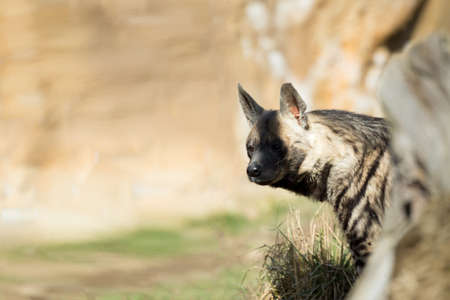 hienas: Striped hyena (Hyaena hyaena) with broad head and dark eyes