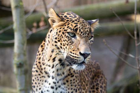 irbis: Persian leopard (Panthera pardus saxicolor), known as the Caucasian leopard Stock Photo