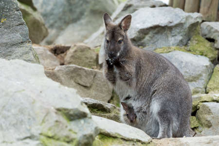 white necked: Closeup of a Red-necked Wallaby kangaroo (Macropus rufogriseus) Female with hidden baby in bag Stock Photo