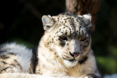 irbis: side portrait of snow leopard - Irbis, Uncia uncia with shallow focus
