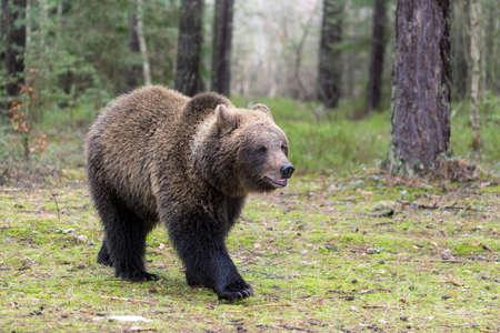 male killer: big female of brown bear (Ursus arctos) in winter forest, Europe, Czech republic
