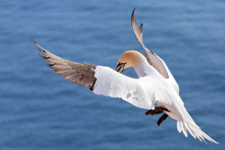 sea bird: Northern gannet (Sula bassana), beautiful flying sea bird with blue sea water in the background, Helgoland island, Germany Stock Photo