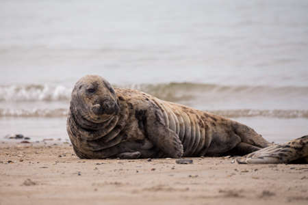 wold: Atlantic Grey Seal, Halichoerus grypus, at the beach of island Helgoland, Dune, Germany in spring