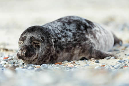 wold: Young atlantic Grey Seal, Halichoerus grypus, detail portrait, at the beach of island Helgoland, Dune, Germany in spring Stock Photo