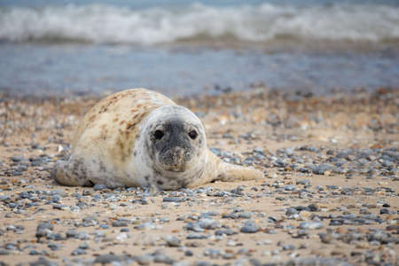 wold: Young atlantic Grey Seal baby, Halichoerus grypus on the beach of island Helgoland, Dune, Germany in spring Stock Photo