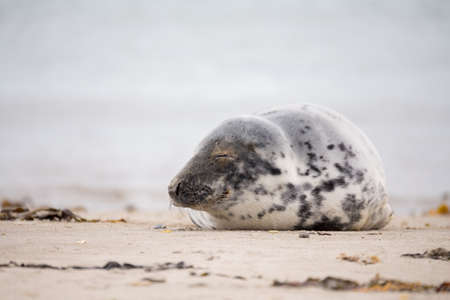 helgoland: Atlantic Grey Seal, Halichoerus grypus, at the beach of island Helgoland, Dune, Germany in spring