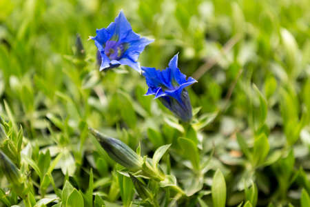 protected plant: Trumpet gentiana blue spring flower in garden for background Stock Photo