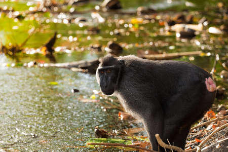 celebes: Celebes crested macaque prepare for drinking in evening sun, Sulawesi, Indonesia