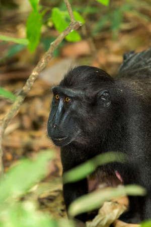 celebes: portrait of  Ape Monkey Celebes Sulawesi crested black macaque, Takngkoko National park, Asia, Sulawesi, Indonesia