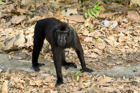 celebes: Big male of endemic Celebes crested macaque, Asia Sulawesi, Indonesia