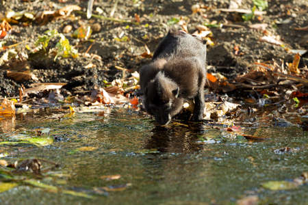 celebes: Endemic celebes crested macaque drinking from small river, Asia Sulawesi, Indonesia Stock Photo