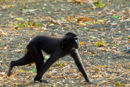 celebes: running endemic ape celebes crested macaque, Asia Sulawesi, Indonesia Stock Photo