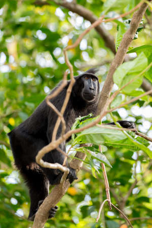 celebes: Celebes crested macaque climbing on tree, Asia Sulawesi, Indonesia Stock Photo