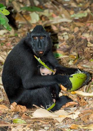 celebes: portrait of  Ape Monkey Celebes with small baby Sulawesi crested black macaque, Takngkoko National park, Asia, Sulawesi, Indonesia