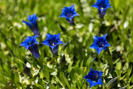 protected plant: Trumpet gentiana blue spring flower in garden, with shallow focus, macro